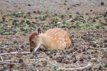 bambi van