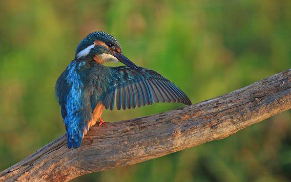 Wassende IJsvogel op een tak