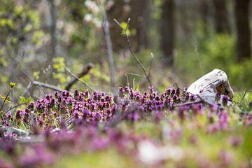 Purpurne Taubnessel in Blüte von Ton Tolboom