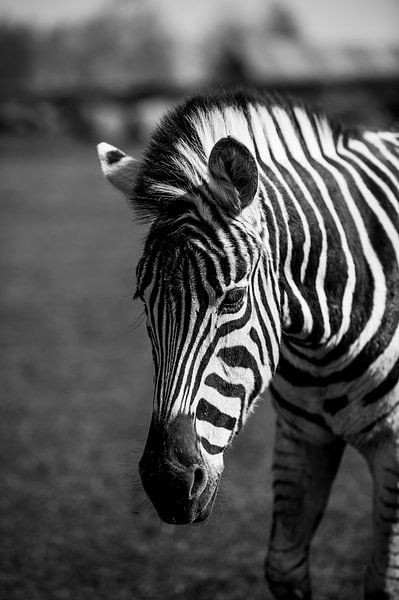 Zebra van Photography by Karim