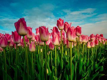Pink tulips in a field - Holland von Dennis van Berkel
