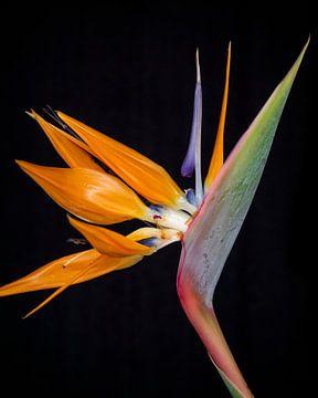 Paradiesvogel von José Lanzas