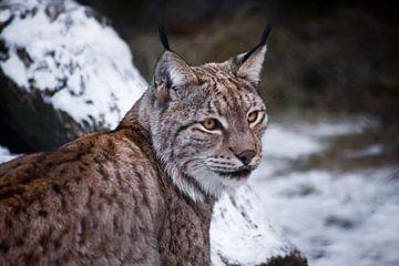 Ein Großkatzen-Luchs sitzt halb verdreht, die Schnauze in Nahaufnahme. Schnee im Hintergrund. von Michael Semenov
