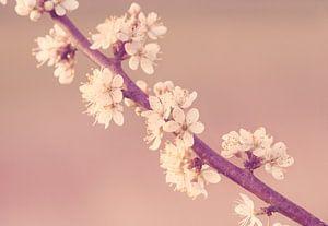 Sleedoorn in bloei