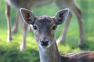 Close-up van een hert in een hertenkamp in Nieuwerkerk aan den IJssel van