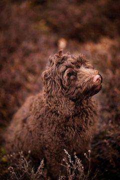 Labradoodle pup in de heide van Vera Sijpkes