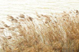 rietkraag in de wind van Yvonne Blokland