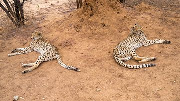 cheetah spiegelbeeld ? van Leo van Maanen