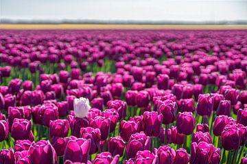 Tulpenfeld mit violetten Tulpen und einer weißen Tulpe. von Albert Beukhof