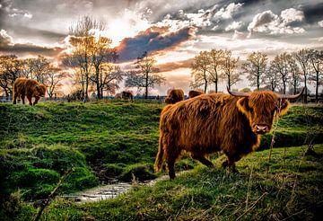 Schotse Hooglanders sur Bas Quaedvlieg