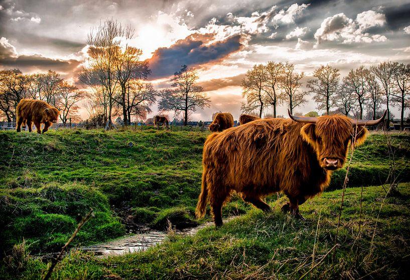 Schotse Hooglanders van Bas Quaedvlieg