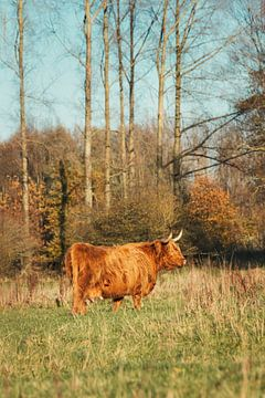 Schottischer Highlander Leeuwarder Wald von Maria-Maaike Dijkstra