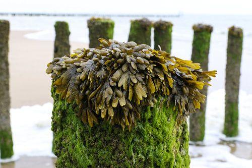 zeewier op paal strand zeeland
