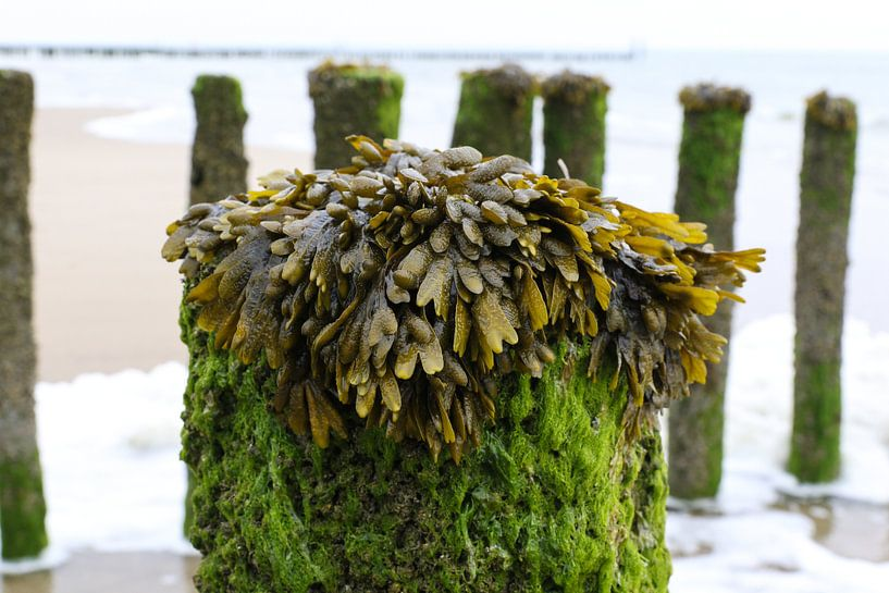 zeewier op paal strand zeeland van Frans Versteden