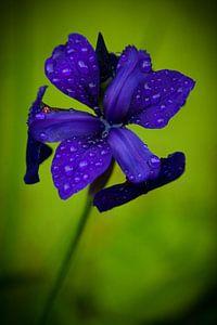 Paars-blauwe bloem na regenbui
