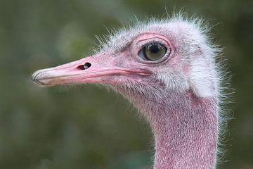 Struisvogel van G. Tiemens