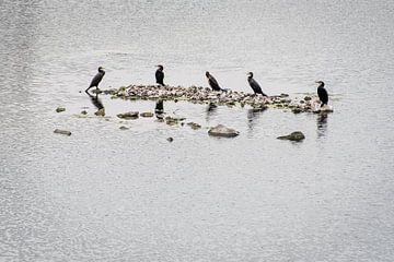 5 Aalscholvers zitten op stenen in het meer van Dieter Walther