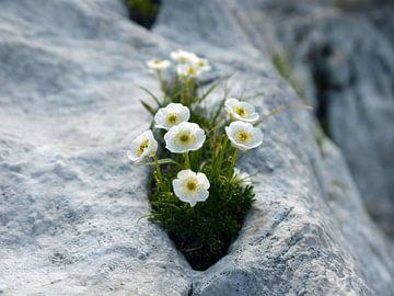 Ranunculus traunfellnerii, une renoncules blanche sur le Mangart sur Tim Lotterman Photography