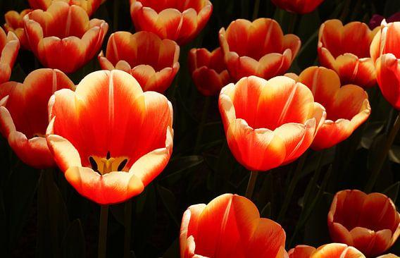 Tulpen in zonlicht van Anne van de Beek