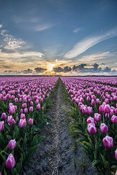 tulpen bij ondergaande zon 05 van