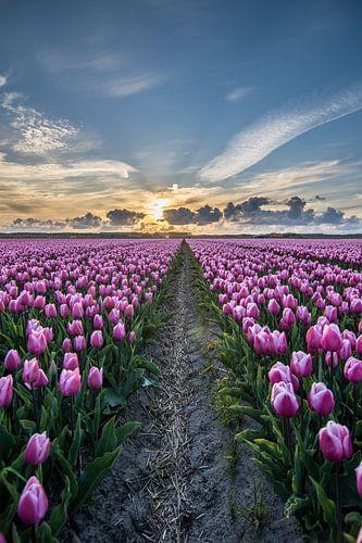 tulpen bij ondergaande zon 05
