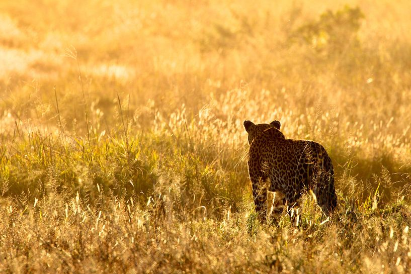Luipaard tijdens het gouden uurtje in Botswana van Daphne de Vries