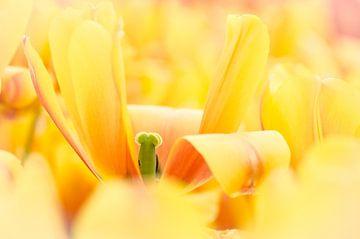 Gele tulp sur