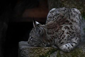 Le lynx est allongé sur la pierre, la tête reposant, le grand chat se repose. sur Michael Semenov