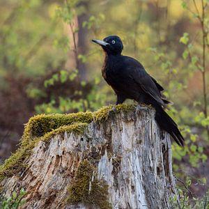 Black Woodpecker ( Dryocopus martius ) sitting on a stub of a tree