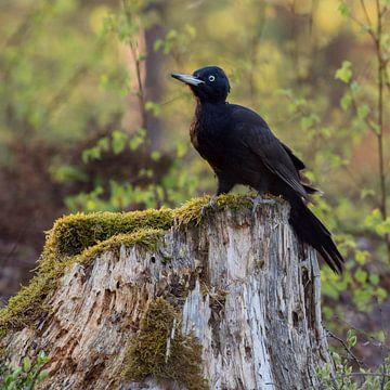 Schwarzspecht ( Dryocopus martius ) sitzt auf einem Baumstumpf von wunderbare Erde