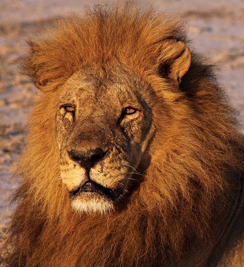 The lion - Africa wildlife van W. Woyke