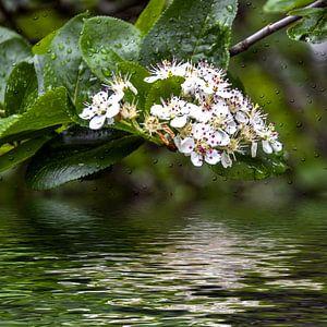 Blütenwasser