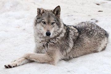 Une femelle loup gît dans la neige sur Michael Semenov