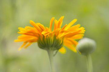 Orange / gelbe Blume, unscharfer Hintergrund. von Arthur Hooijer