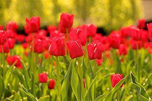Rode tulpen van Sabine De Gaspari
