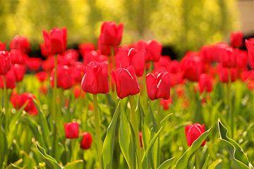 Rode tulpen van Sabine DG