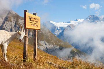 Ziege in den Hohen Tauern, Österreich von