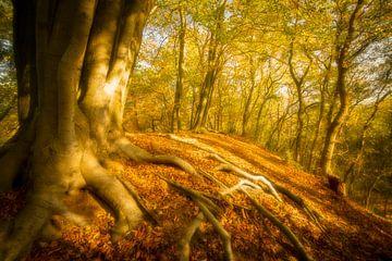 Oude Beuk met wortels in een bos in de herfst van Sjoerd van der Wal