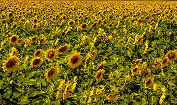 Veld zonnebloemen von R. de Jong