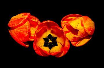 Tulpen van Jose Lok