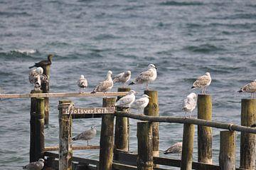 Mouettes sur la jetée de Vitt, Rügen sur GH Foto & Artdesign