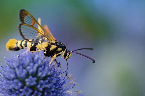 Eikenwespvlinder op bloem