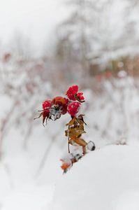 Bevroren bessen in de sneeuw