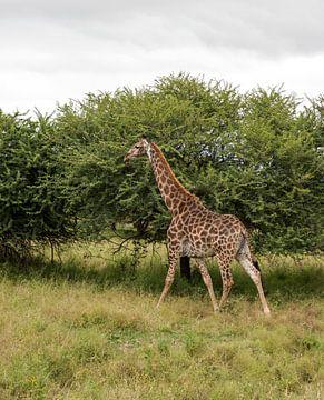 een giraffe loopt rustig weg van Compuinfoto .