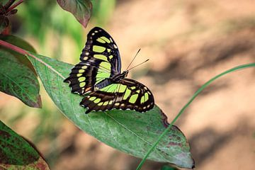 Malachietvlinder van
