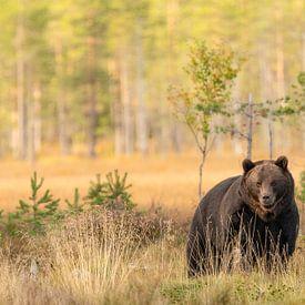 Braunbär in Finnland von Nanda Bussers