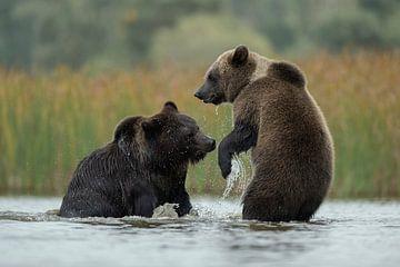 Rangelei im Wasser... Europäische Braunbären *Ursus arctos* von wunderbare Erde