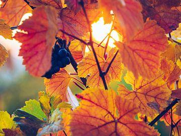 Weinlaub im Herbst von Alexander Voss