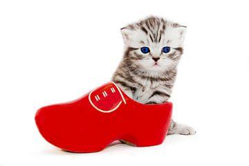 Britisch Kurzhaar Katze in roten  Klumpen von Ben Schonewille