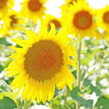 Jonge, frisse zonnebloemen in de zomer van Annavee